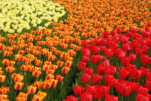 Blooming tulips in springtime