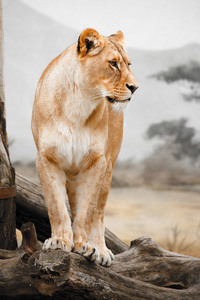 Female lion in savanna.