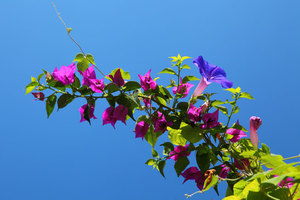 Bougainvillea flower in garden