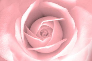 Soft rose macro photo