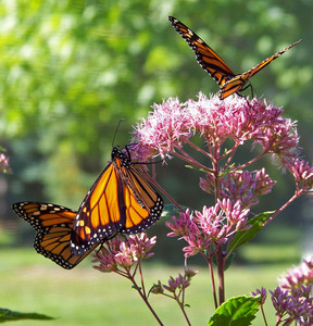 Butterflies on flowers on a sunny day