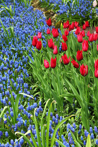 Hyacinths and tulips in the park