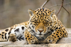 Relaxed sleeping leopard