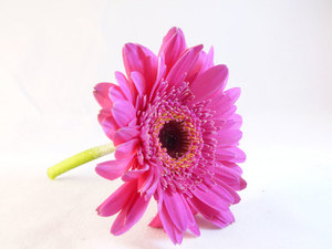 Single pink flower isolated