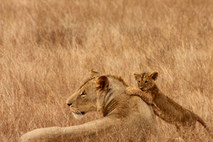 Two lions in the savanna environment