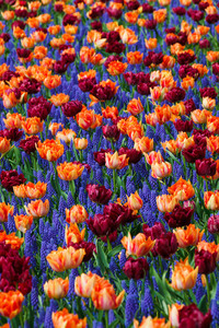 Colorful flowers in Holand