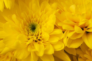 Blooming chrysanthemums close up