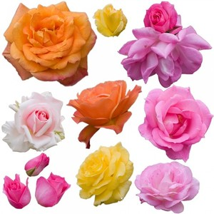 Various roses isolated