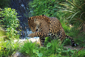 Wild jaguar in green nature.