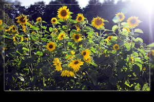 Sunflowers on sunlight