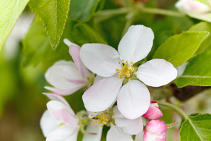 Apple blossom macro photo