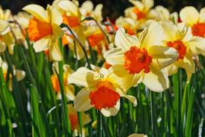 Daffodils blossom on sunlight