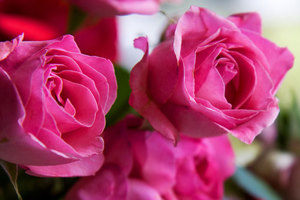 Pink roses close up