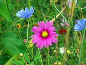 Wildflowers in blue and pink colour