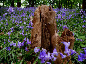 Bluebells around log