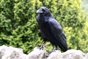 Ringed crow standing on the stones