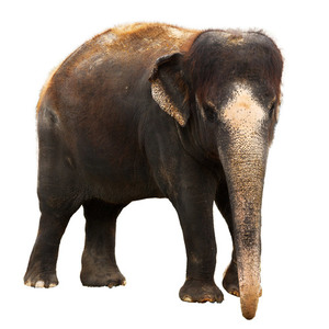 Indian elephant isolated