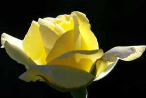 Yellow rose isolated on black background
