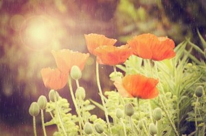Poppies on rain with sunlight