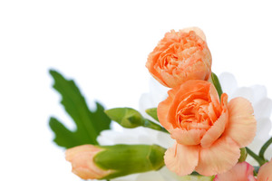 Orange carnations isolated