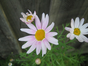 Pink daisies in nature