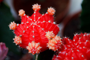 Red cactus macro photo