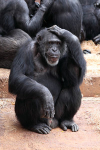 Old chimpanzee with concerned face