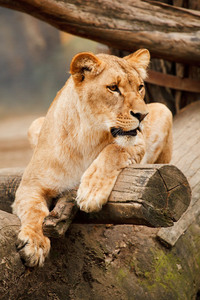 Female lion resting