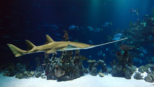 Sawfish in beautiful underwater environment