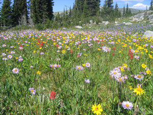 Mountain wildflowers