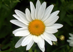 Witte margriet close-up