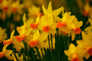 Blooming daffodils in garden