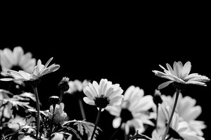 Daisies black and white photo