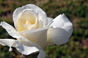 Single white rose outdoors