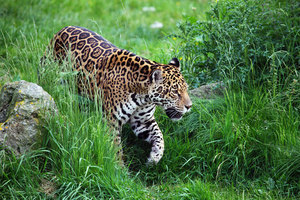 Jaguar in green nature