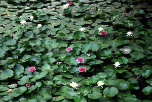 Water lilies floating