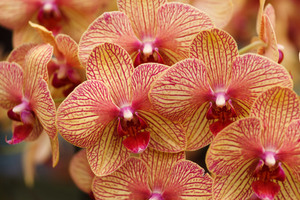 Yellow Red Orchids