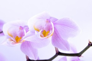Purple orchid macro photo