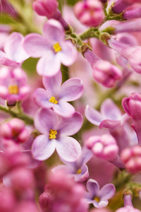 Syringa plant macro photo