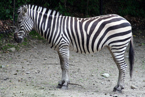 Zebra profile in nature
