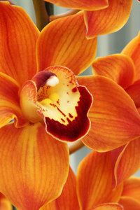 Orange orchid macro photo