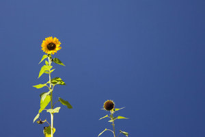Two sunflowers on sunny day