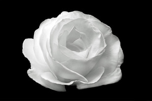 White rose isolated on black