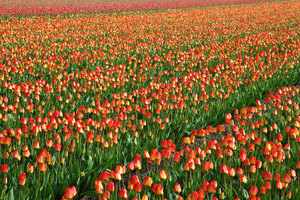 Colorful field of tulips