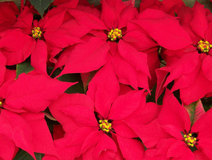 Christmas poinsettias top view