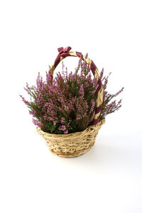 Basketed heather plant