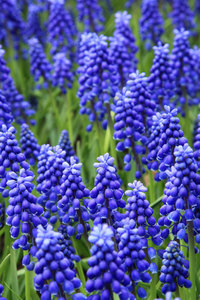 Grape hyacinths close up