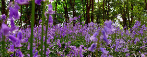 Bluebell flowers in forest