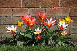 Tarda tulips in the garden