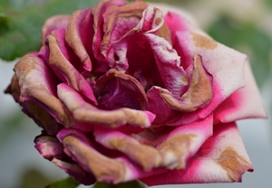 Fading rose